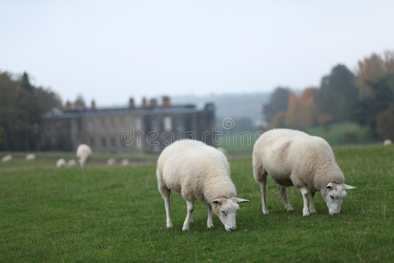 Sheep Grazing at Calke Abbey stock photo