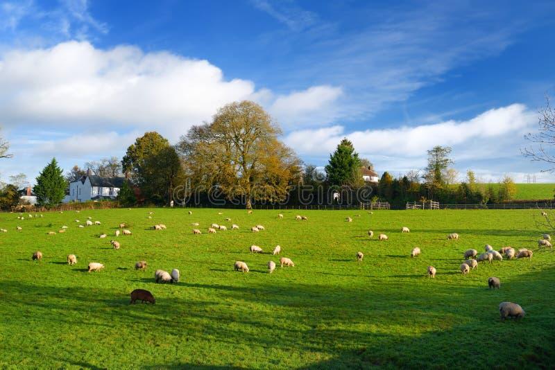 Sheep grazing on Cornish fields under cloudy sky, Cornwall, England, UK. Sheep grazing on scenic Cornish fields under cloudy sky, Cornwall, England, UK royalty free stock photos
