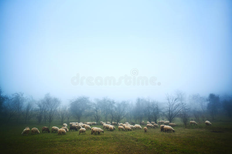 Sheep grazing at dawn stock photography