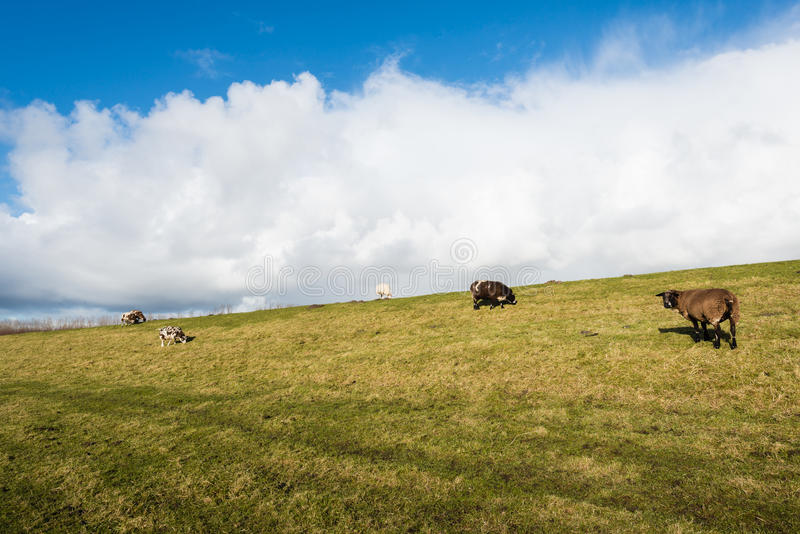 Sheep grazing on a royalty free stock photography