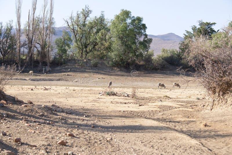 Sheep grazing in dry dam stock photography
