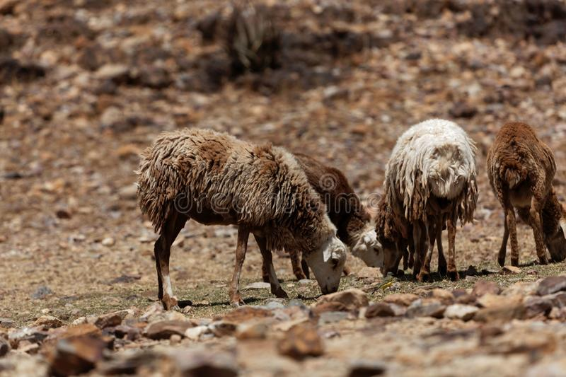 Sheep grazing on a dry field royalty free stock photos