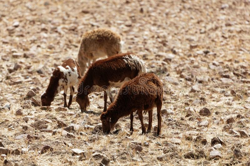Sheep grazing on a dry field royalty free stock photo
