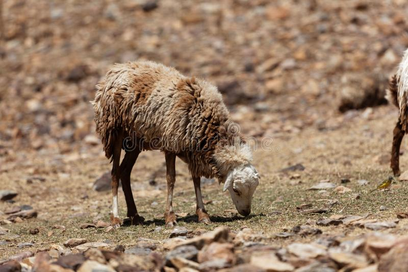 Sheep grazing on a dry field royalty free stock images
