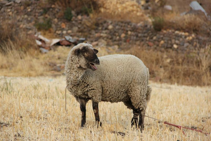 A sheep grazing in a dry field stock images