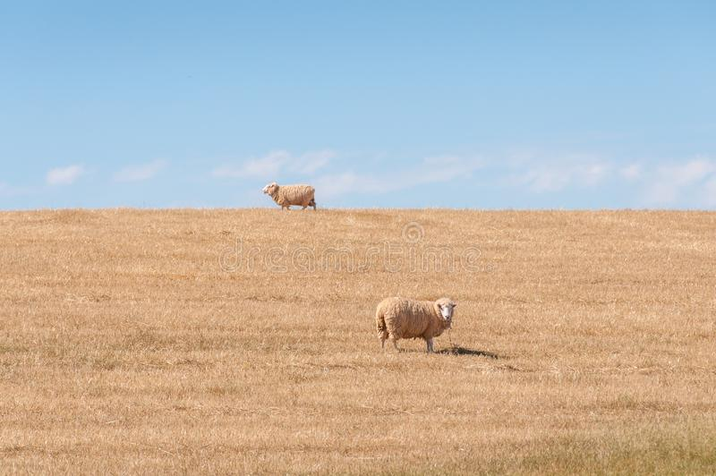 Sheep grazing dry and lifeless grass on paddock. Drought scene royalty free stock photography