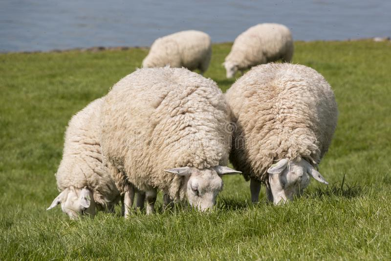 Flock of sheep grazing with the water of the IJsselmeer in the background. Sheep grazing on the dyke at the Ijsselmeer in the Netherlands royalty free stock image