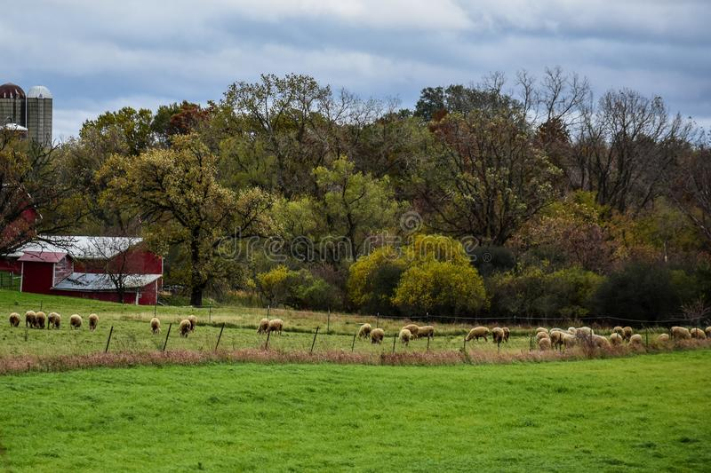 Sheep grazing in a farm field with barns and silos in the background. Sheep grazing in a farm field with red barns and silos in the background. Cloudy autumn day stock images