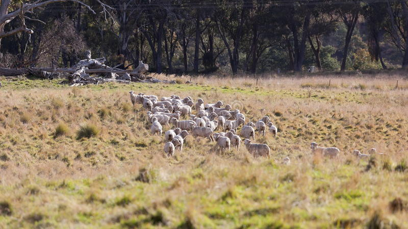 Download Sheep Grazing In Farm Near Oberon. NSW. Australia. Royalty Free Stock Images - Image: 24897929