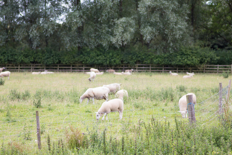 Sheep grazing in a field. In the daytime with lush foliage and a hedge to the background royalty free stock photos
