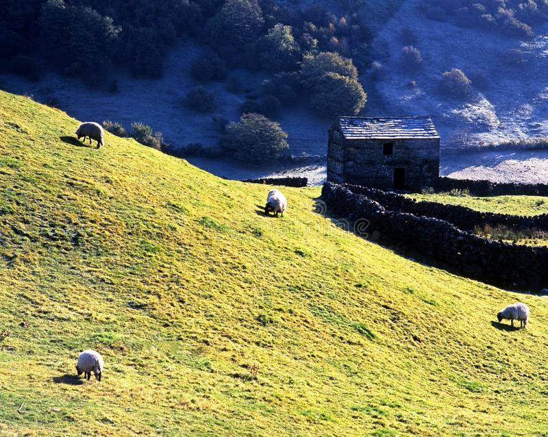 Sheep grazing in field, Swaledale. royalty free stock image