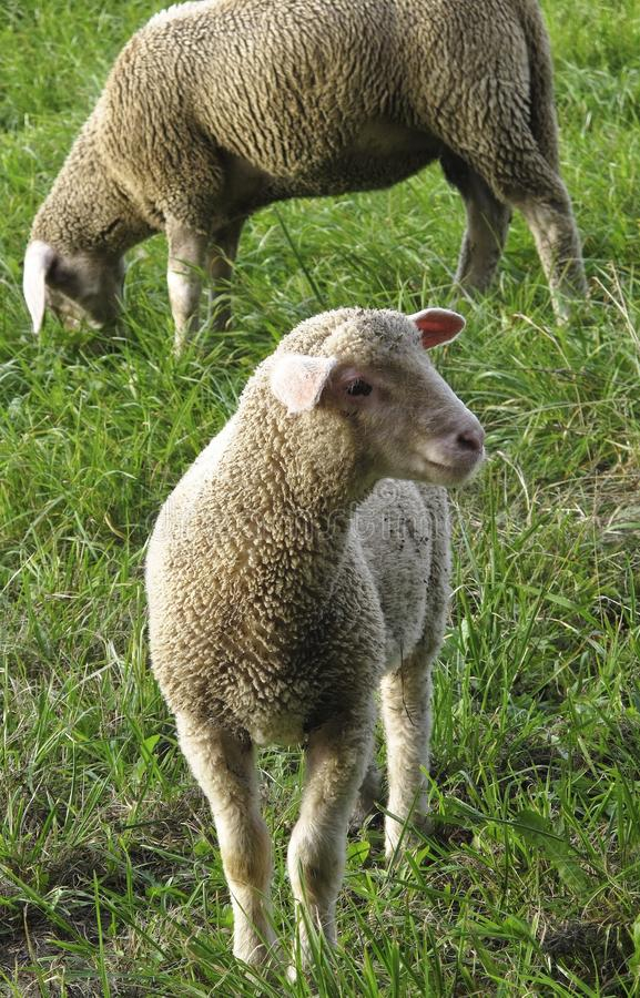 Sheep, Grazing, Grass, Pasture stock image