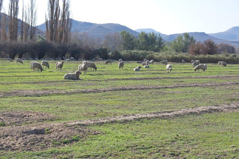 Sheep grazing in green field stock photos