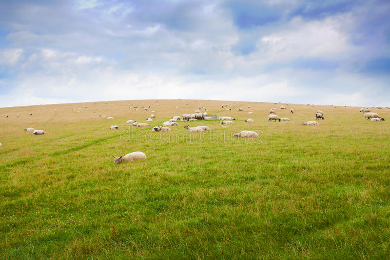Sheep grazing on a green hillside. In the South Downs, Sussex, England stock images