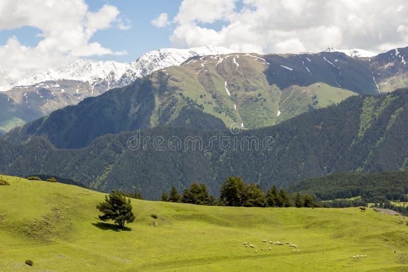 Sheep grazing in green valley in Caucasus mountains. Georgia, Tusheti. Rural landscape royalty free stock photos