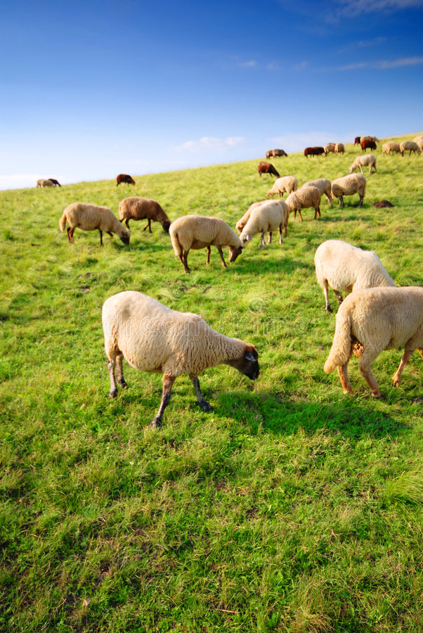 Sheep grazing on a hill. A flock of sheep grazing on a grassy hill stock photo