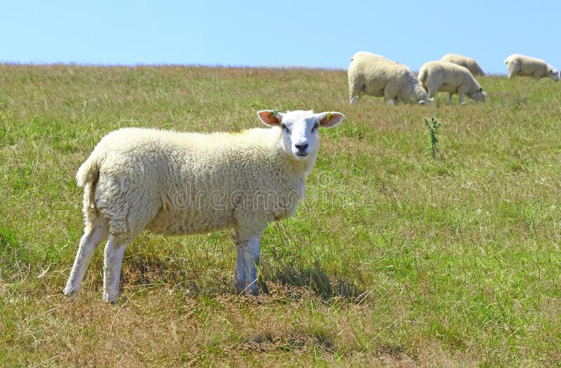 Sheep grazing on a hillside. With one sheep in the for ground looking at the viewer on a clear sunny day stock photo