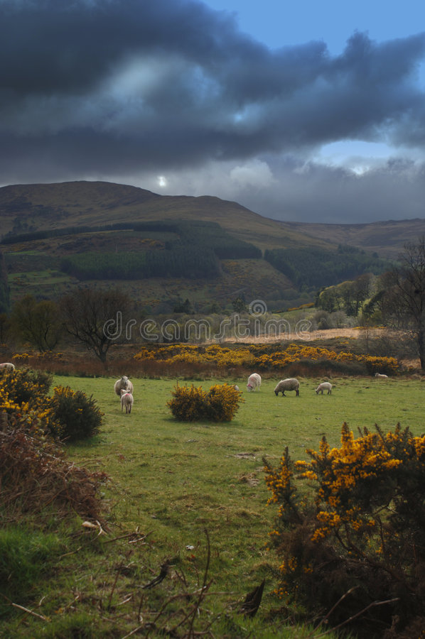 Download Sheep Grazing In Irish Pasture Royalty Free Stock Photo - Image: 828925