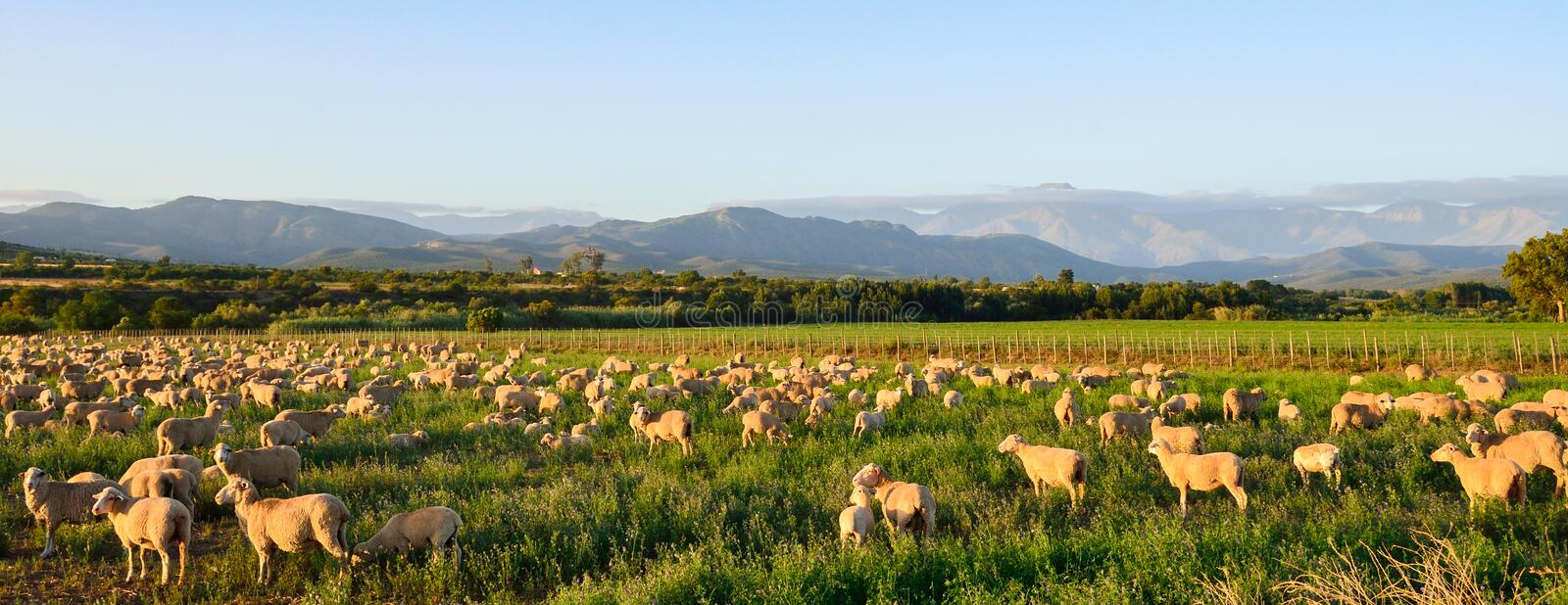 Download Sheep Grazing In Late Afternoon Sun Near Oudtshoorn Stock Image - Image: 29113585