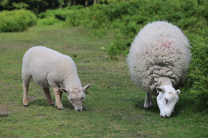 Sheep Grazing On The Lawley Lamb and Ewe royalty free stock photos