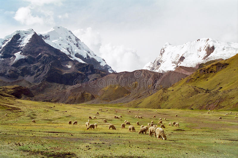 Download Sheep Grazing In Mountains, Peru Stock Images - Image: 12795984