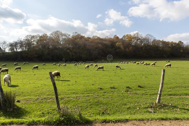 Sheep grazing in nature in november open air sun plants and landscape in Kirklareli Turkey.  royalty free stock photos