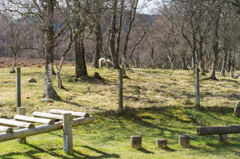 Sheep grazing near rural wooden play equipment royalty free stock photography