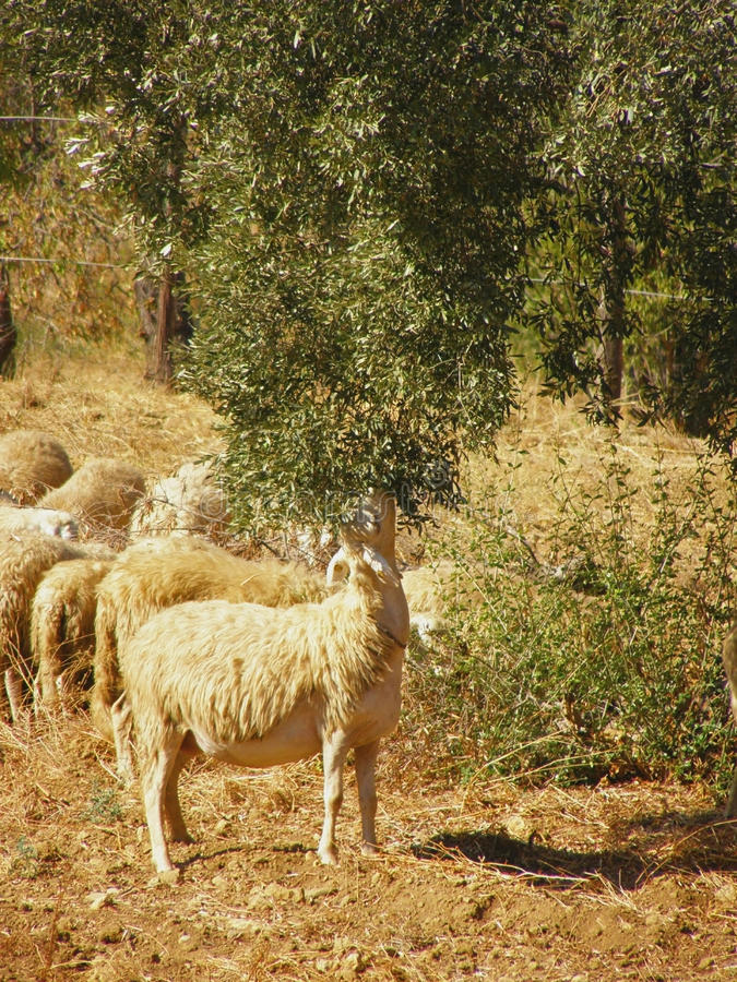 Free Sheep Grazing Olive Tree Leaves Royalty Free Stock Photography - 12584877