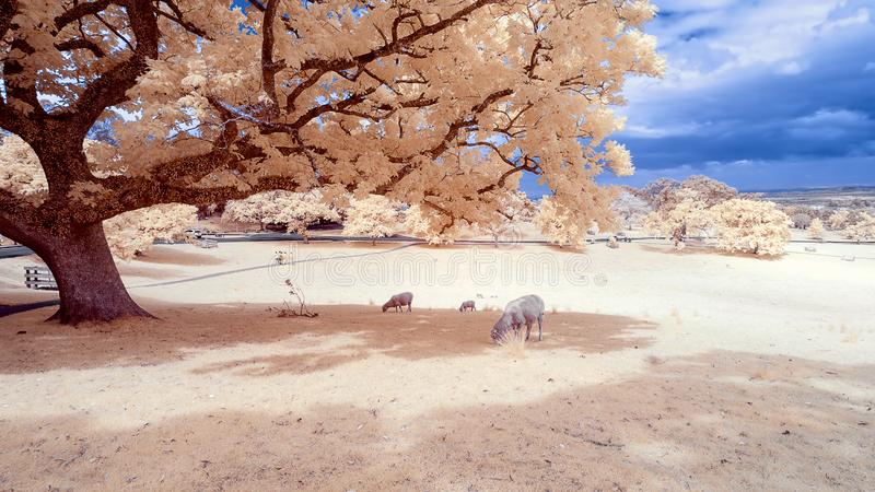 Sheep grazing in a park under a tree stock photography