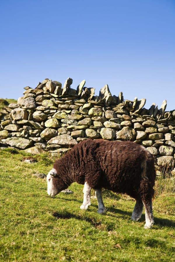 Sheep Grazing In Pasture Stock Image