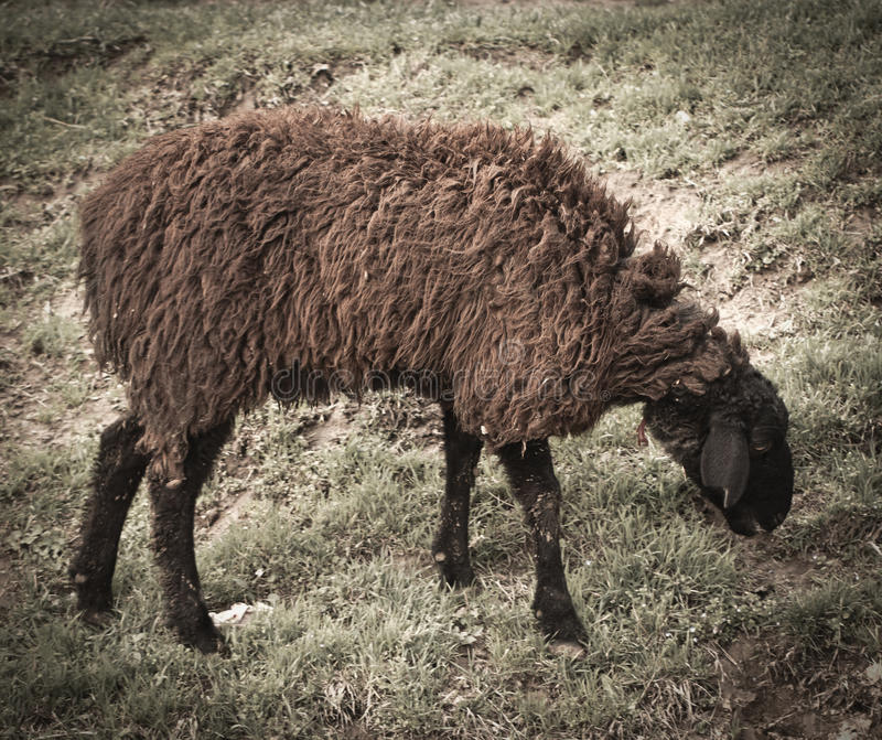 Sheep grazing. In a pasture stock images