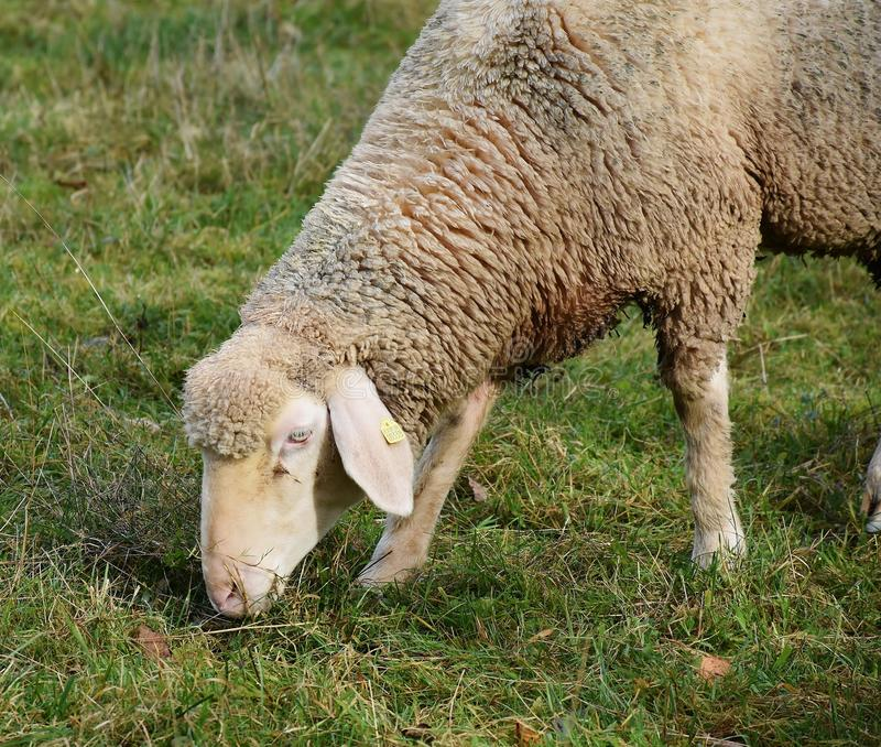 Sheep, Grazing, Pasture, Grass royalty free stock images