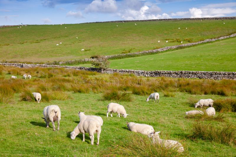 Scottish rural landscape with grazing sheep stock images