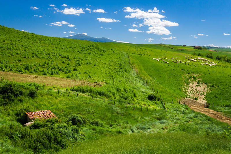 Sheep Grazing in Rolling Tuscany royalty free stock images