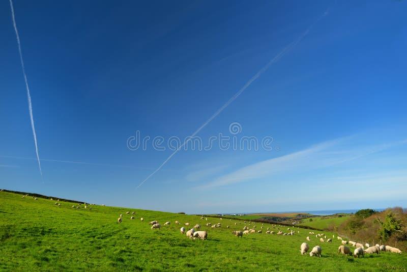 Sheep grazing on scenic Cornish fields under blue sky, Cornwall, England, UK. Sheep grazing on scenic Cornish fields under clear blue sky, Cornwall, England, UK stock photos