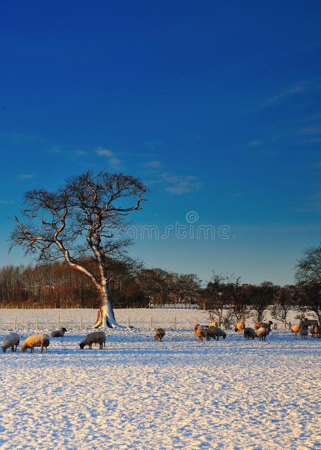 Download Sheep Grazing In The Snow Stock Images - Image: 18025924