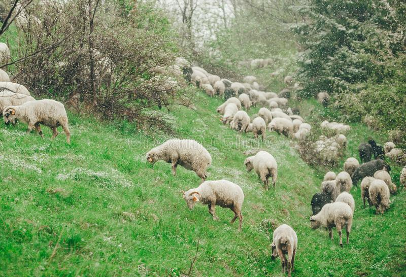 Sheep are grazing in spring on snow covered slope mountain stock photos