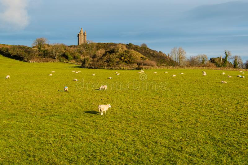 Sheep grazing in a sunny grassy field underneath an old castle tower in Ireland. Scrabo Tower and a pasture with a flock of sheep near Newtonards on the Ards royalty free illustration