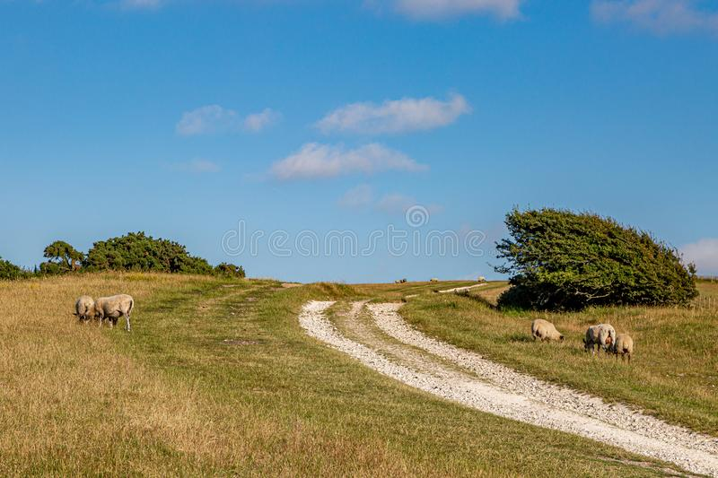 Sheep in the South Downs. Sheep grazing in the Sussex countryside on a sunny summers evening stock images