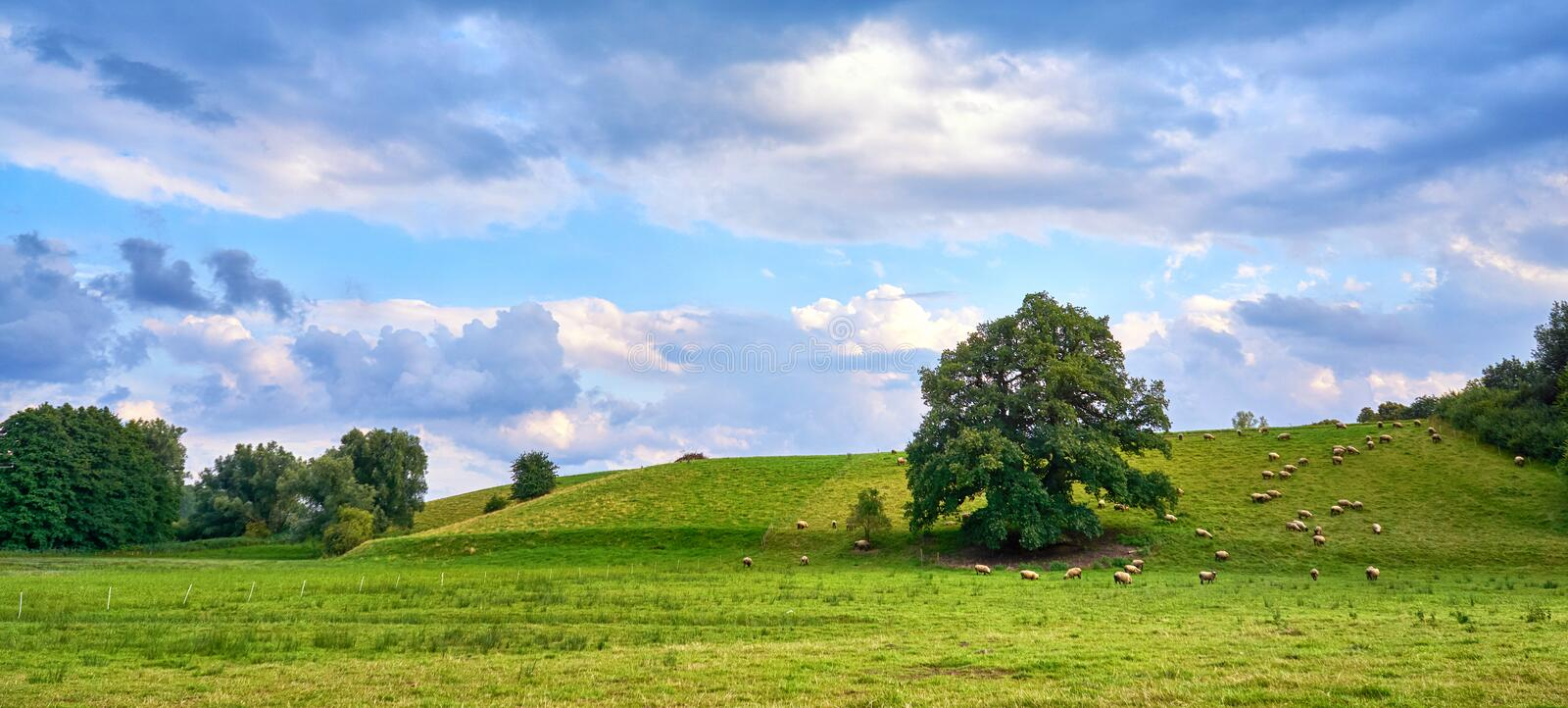 Sheep grazing under the shade of a tree on the hillside in a meadow. Countryside, grass, landscape, beautiful, environment, green, lamb, nature, outdoor royalty free stock photography