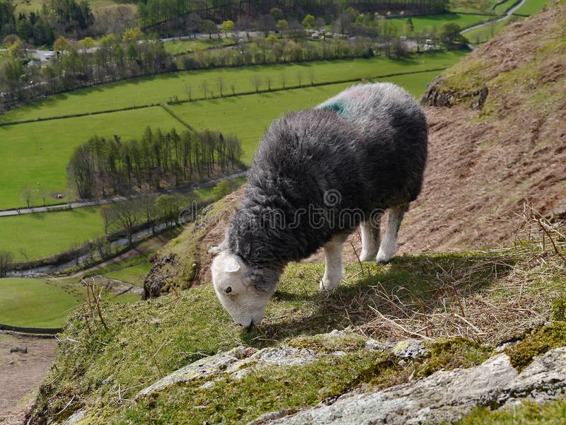 Sheep grazing with valley below stock image