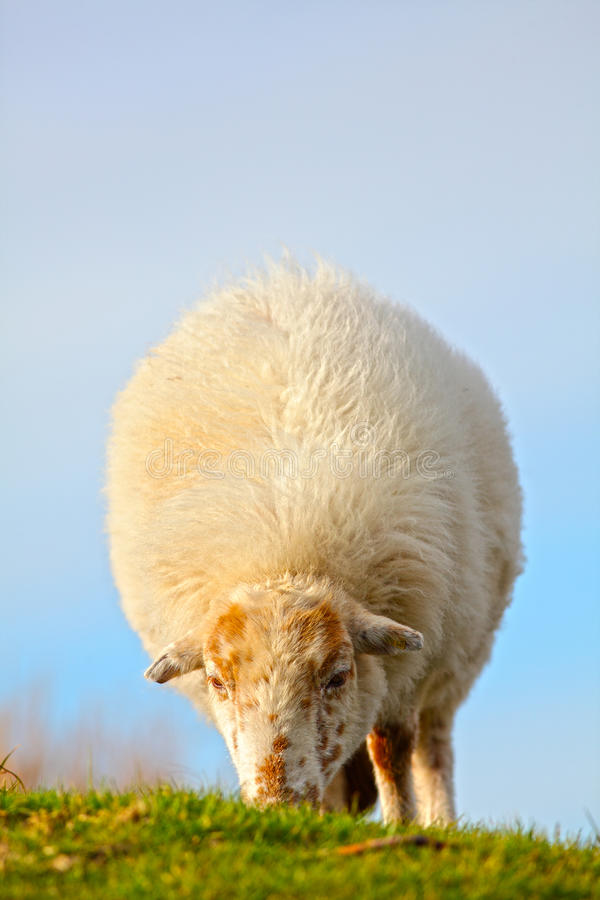 Download Sheep grazing stock photo. Image of facing, coat, meirionnydd - 39502610
