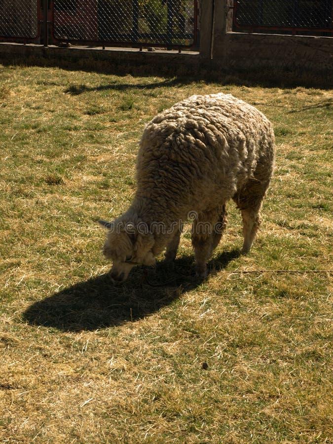 Sheep on green grass. In zoo stock photos