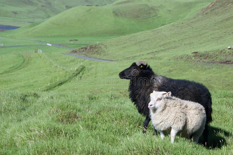 Icelandic sheep in tall summer grass. A black ram and white ewe stand in a green hill in a vast landscape of pastureland, limited freedom only by distant fences royalty free stock photos