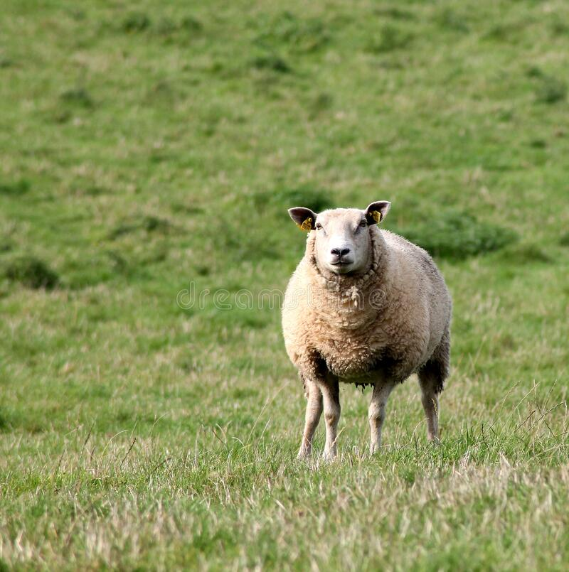 Sheep in green pasture stock image