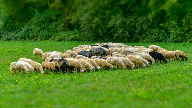 flock of sheep in the field stock photo