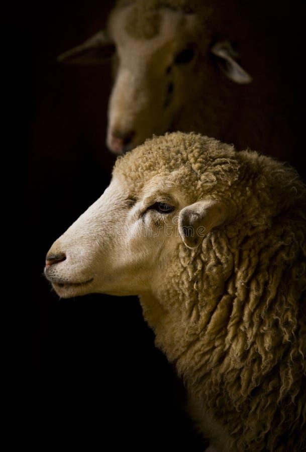 Sheep head stock photo