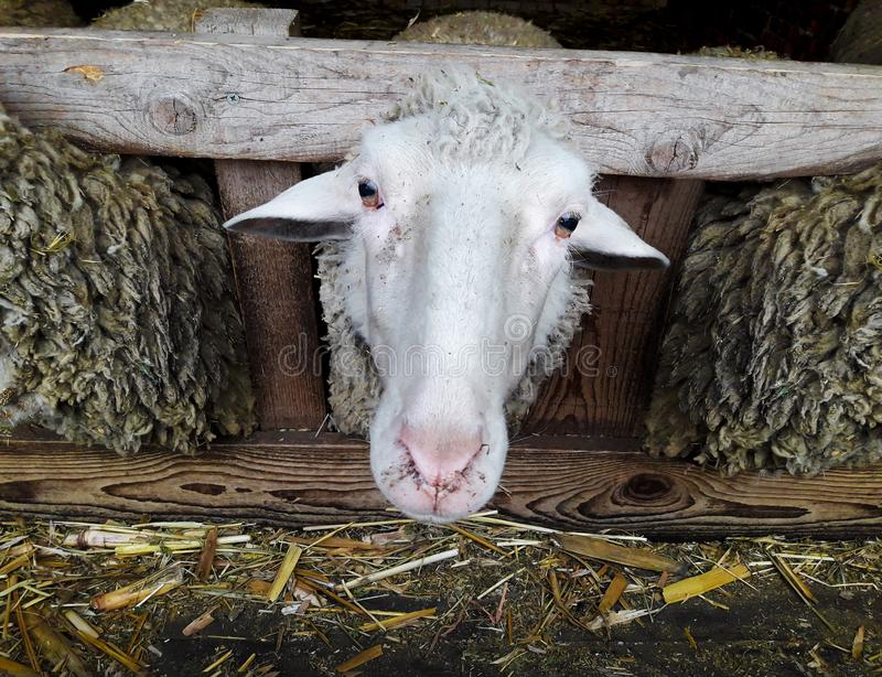 The Head of the Sheep stock images