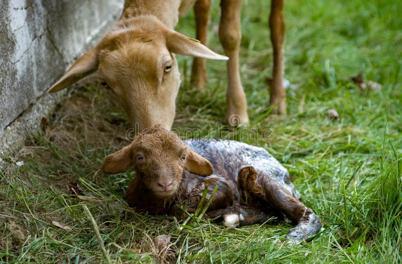 Sheep and newborn lamb stock images