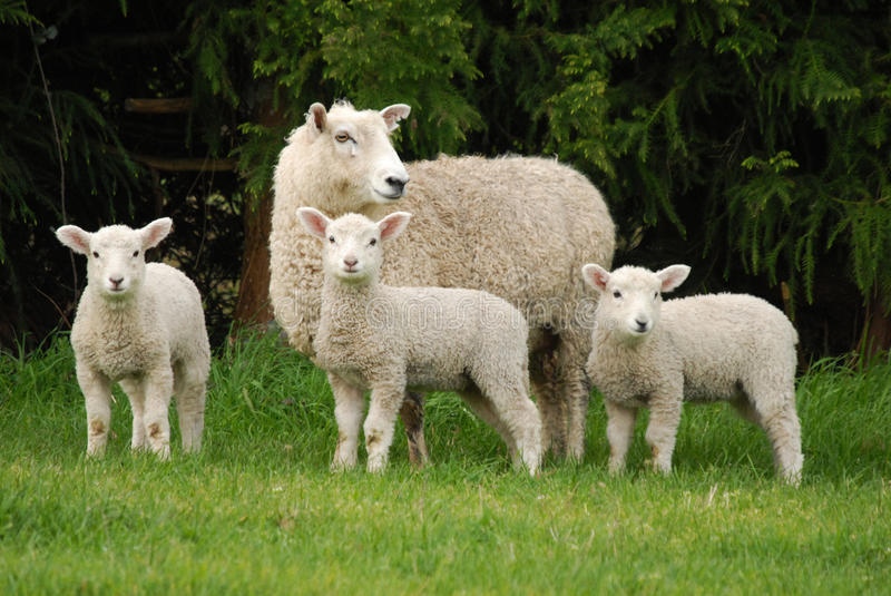 A Sheep and her lambs stock image